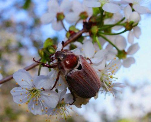 Крупный майский жук на цветке плодовой вишни