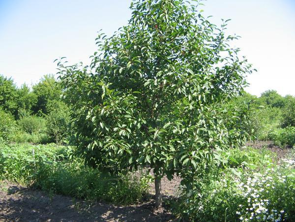 Молодой куст вишни для зеленого черенкования в начале лета