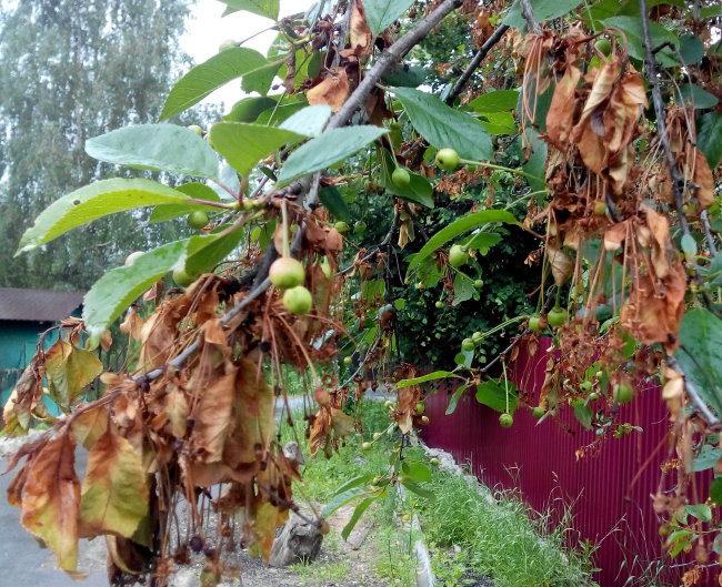 Засыхание листьев на кончиках веток вишни при монилиозе.