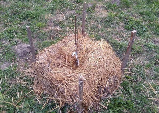 Прошлогодняя солома в приствольном круге саженца вишни после посадки