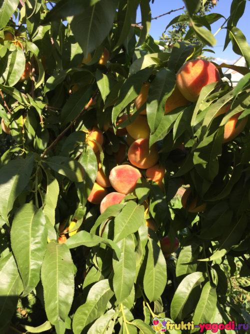 Плоды персика спрятались за листьями дерева