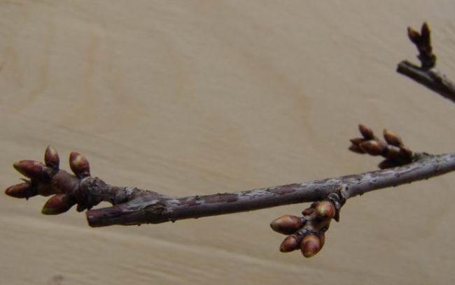 Набухшие цветочные почки на ветке вишни в весенний период
