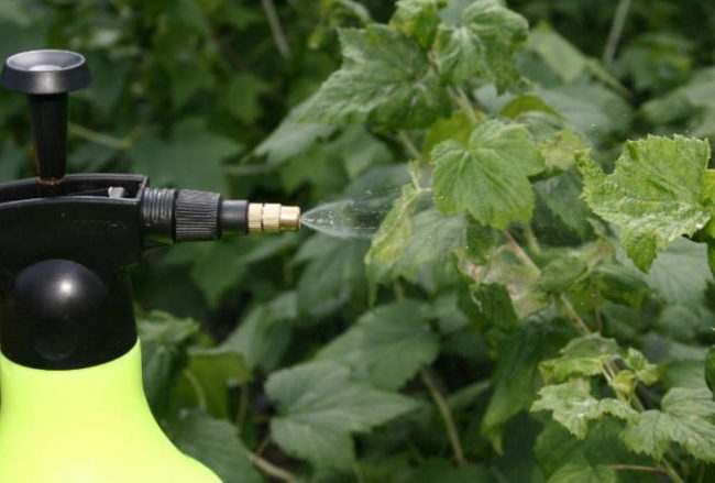 Весенняя обработка смородины инсектицидом из ручного распылителя