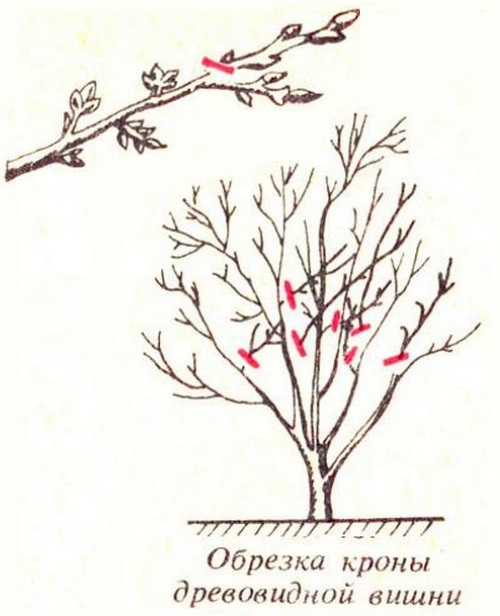 Схема формирования древовидной кроны вишневого дерева