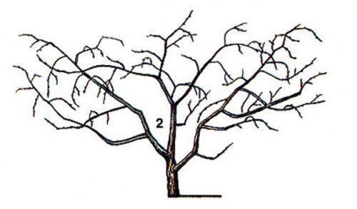 Схема формирование кустовидной кроны вишневого дерева