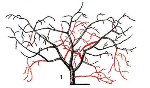 Схема весенней обрезки вишни кустового типа с указанием удаляемых веток