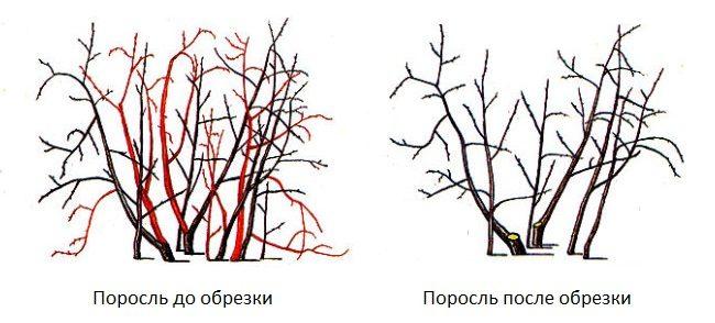 Схема весенней обрезки поросли вишни с целью формирования новых кустов