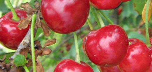 Созревающие плоды вишни сорта Огневушка