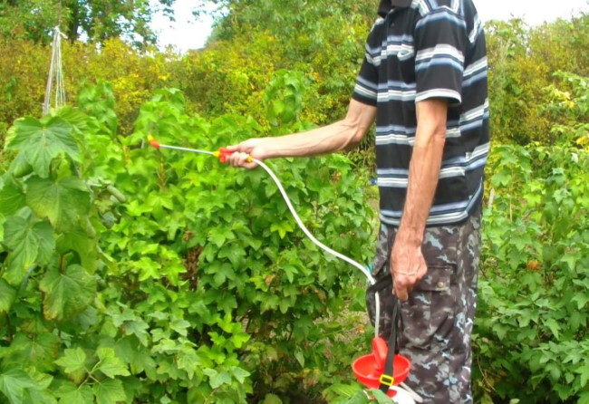 Летняя обработка смородины раствором мыла от садовой тли