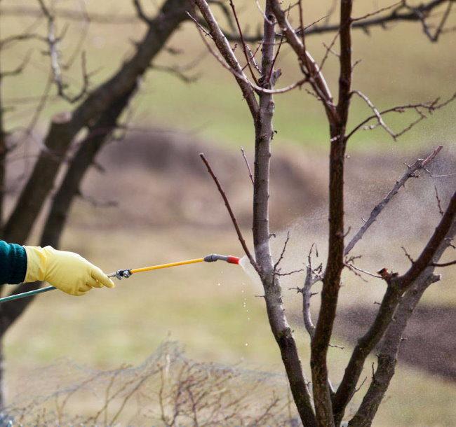 Весенняя обработка дерева вишни раствором медного купороса