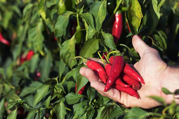Красные стручки горького перца на ладони садовода-любителя
