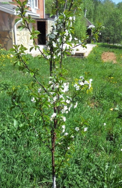 Первое цветение трехлетнего саженца вишни сорта Хуторянка