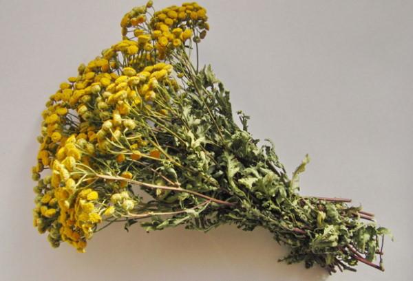 Пижма с желтыми цветками для настоя от мучнистой росы