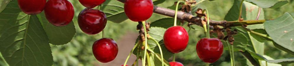 Созревающие плоды сорта вишни Пламенная