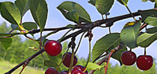 Созревающие плоды вишни в средней полосе России прививка на дичку