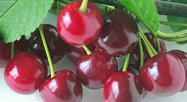 Блестящая кожица на спелых плодах гибридной вишни сорта Заранка