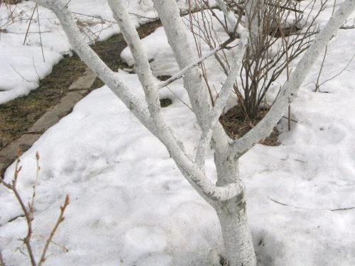 Побеленные ветки на кусту вишни в зимний период