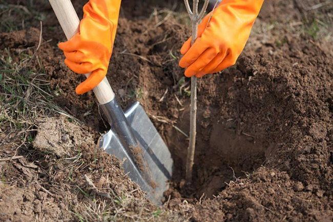 Новая штыковая лопата в посадочной яме с двухлетним вишневым саженцем