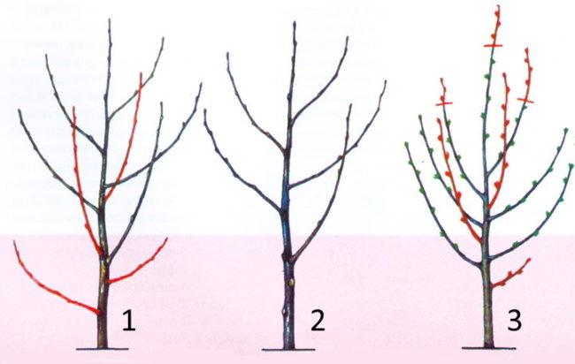 Схема обрезки саженца вишни после посадки на постоянное место