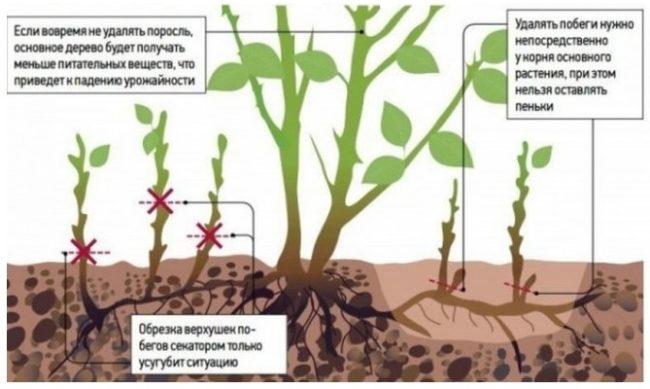 Основные правила удаления корневой поросли вишни