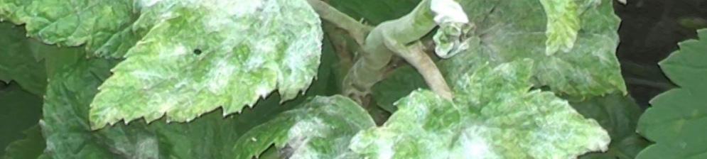Мучнистая роса на смородине вблизи на листьях
