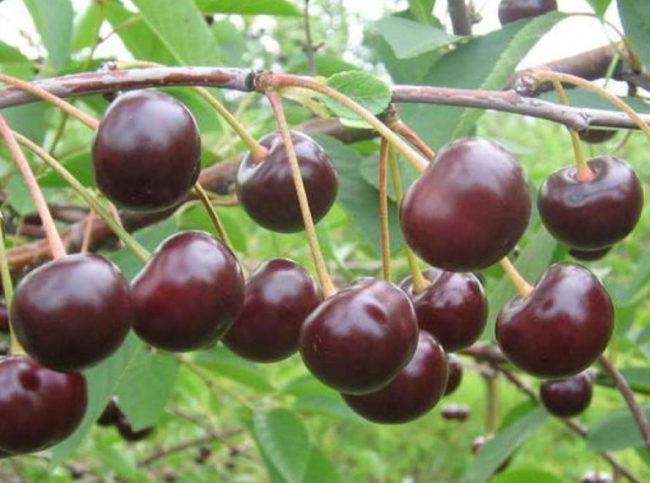 Созревание плодов с рубиновой кожицей на ветке вишни Морель Брянская