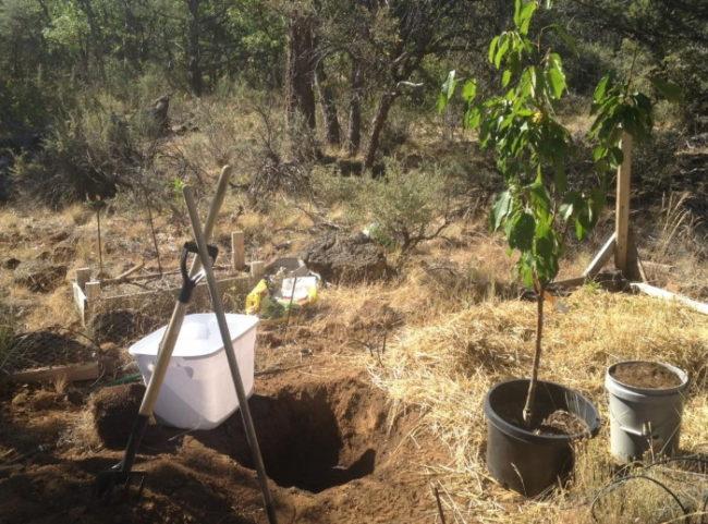 Посадка саженца вишни в почву с нейтральной кислотностью