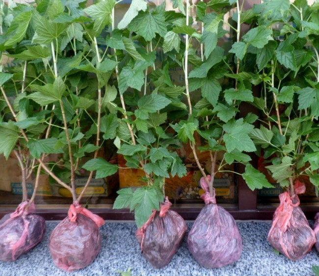 Крепкие трехлетние саженцы смородины с закрытой корневой системой
