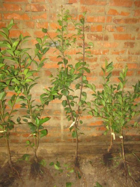 Зеленые листья на трехлетних саженцах вишни для посадки в Средней полосе России