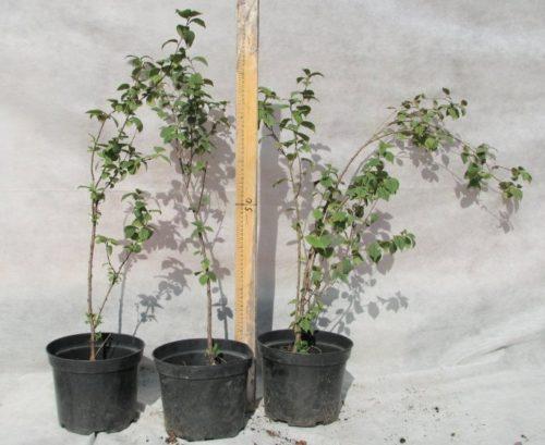 Саженцы вишни с закрытой корневой системой из питомника