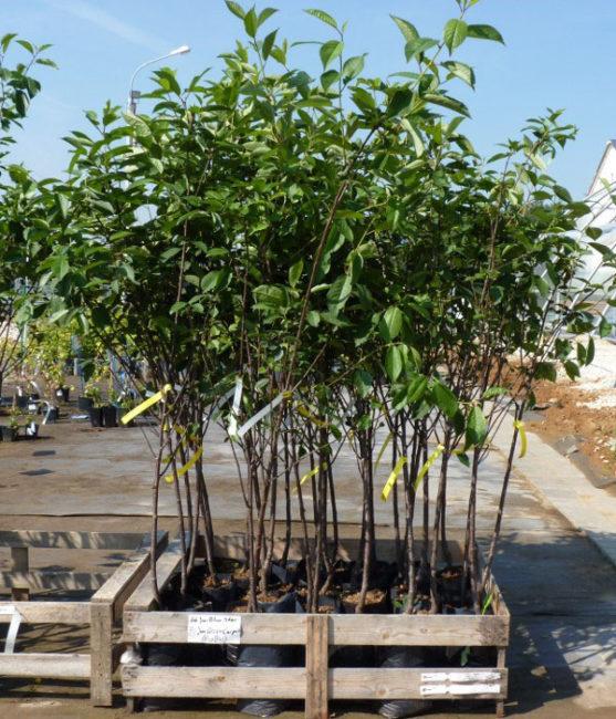 Деревянный ящик с саженцами вишни на торговой площадке питомника