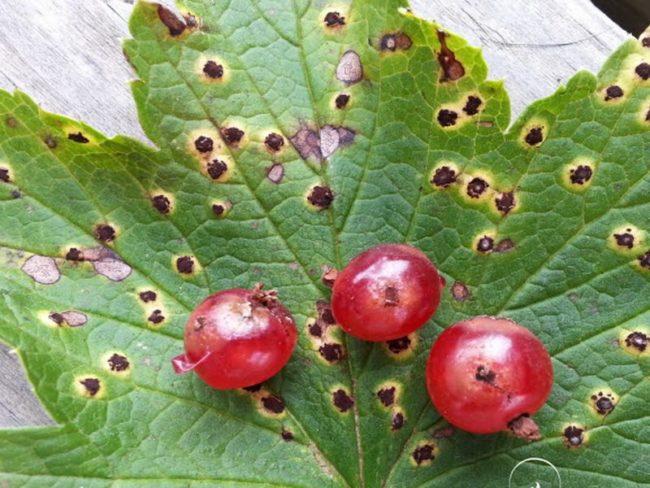 Признаки септориоза на листе и красных ягодах смородины