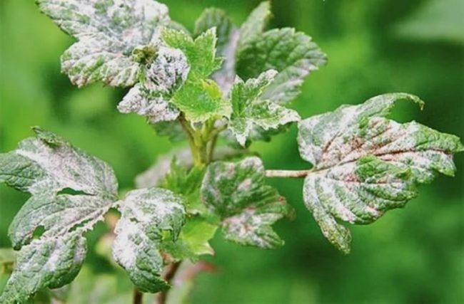 Белые пятна на скрученных листьях смородины при заражении сферотекой