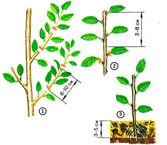 Схема процесса зеленого черенкования вишни в условиях квартиры
