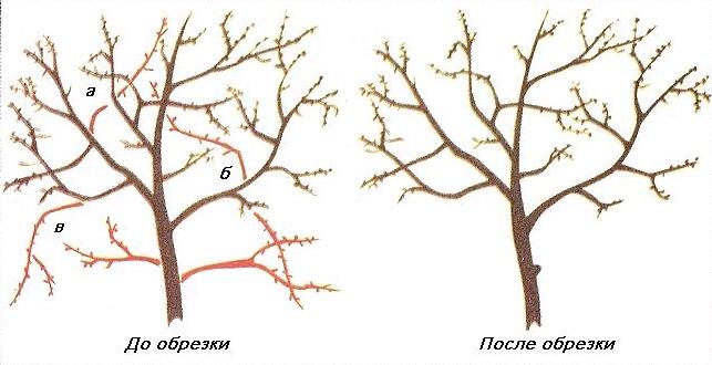 Схема взрослого куста вишни до и после омолаживающей обрезки