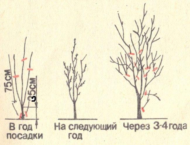 Схема весенней обрезки вишни с первого по четвертый года после посадки