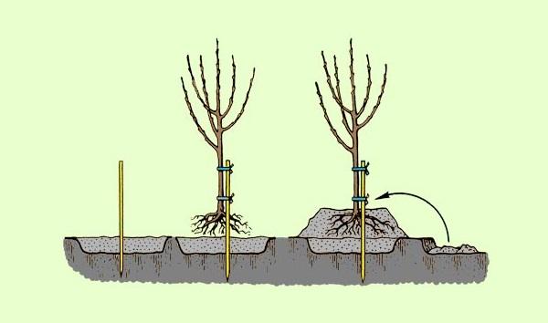 Схема весенней посадки войлочной вишни на холмик на сырой почве