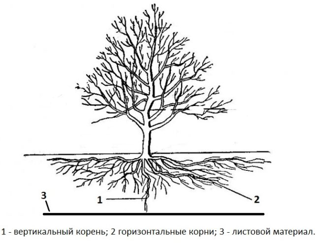 Схема посадки вишни на листовой материал при высоких грунтовых водах
