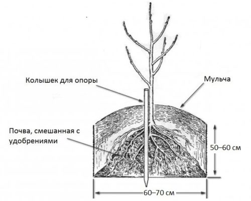 Схема посадки вишневого саженца на почве с низкими грунтовыми водами