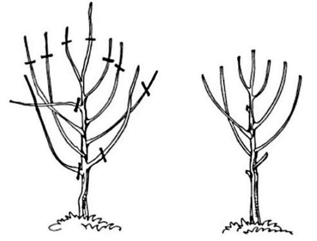 Схема весенней обрезки молодой вишни на второй год после посадки
