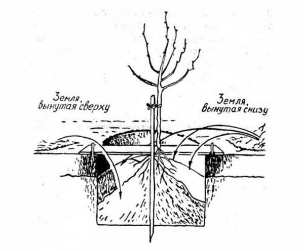 Схема ямы для весенней посадки вишневого саженца в условиях Черноземья
