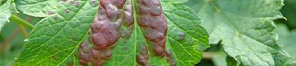 Скрутились листья на смородине вблизи на листе