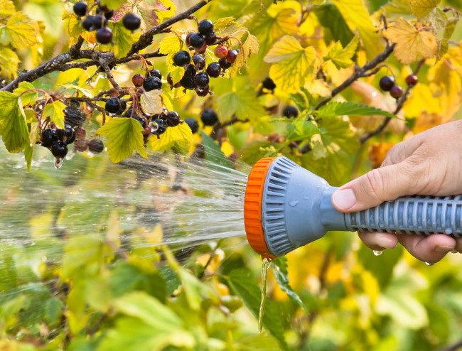 Смывание тли напором воды из распылителя с веток и листьев черной смородины