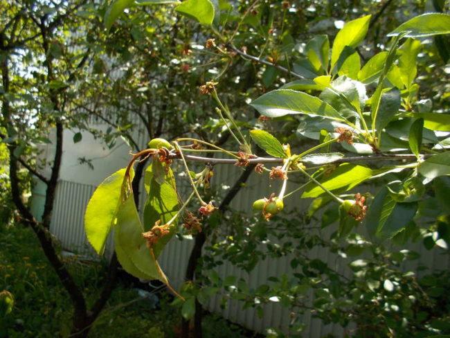 Начало засыхания зеленых листьев на кончике вишневой ветки