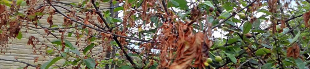 Сохнут концы веток при монилиозе у вишни