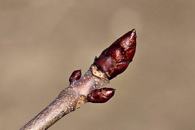Спящие почки на ветке вишневого дерева перед обрезкой весной