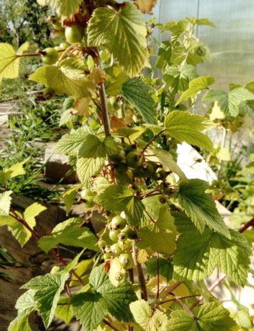 Пожелтение листьев на ветках старого куста смородины в середине лета