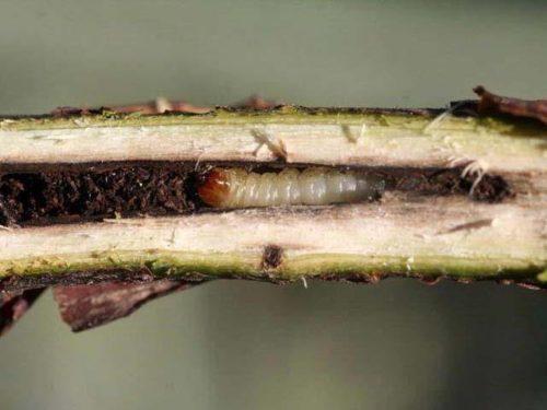 Повреждение сердцевины ветки смородины гусеницей стеклянницы