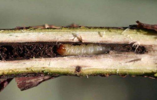 Гусеница стеклянницы на продольном срезе ветки черной смородины