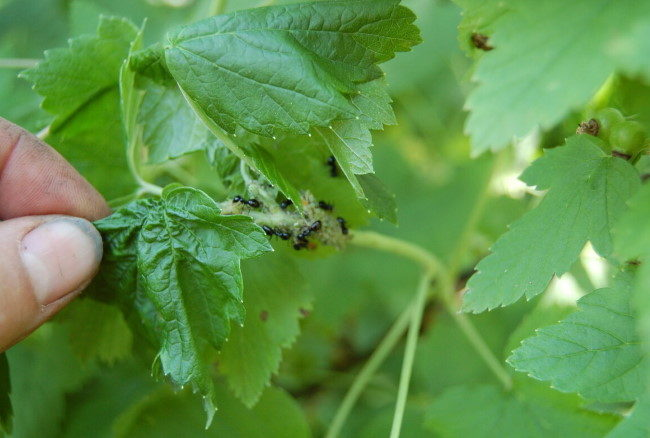 Муравьи и тля на молодых побегах красной смородине в начале лета